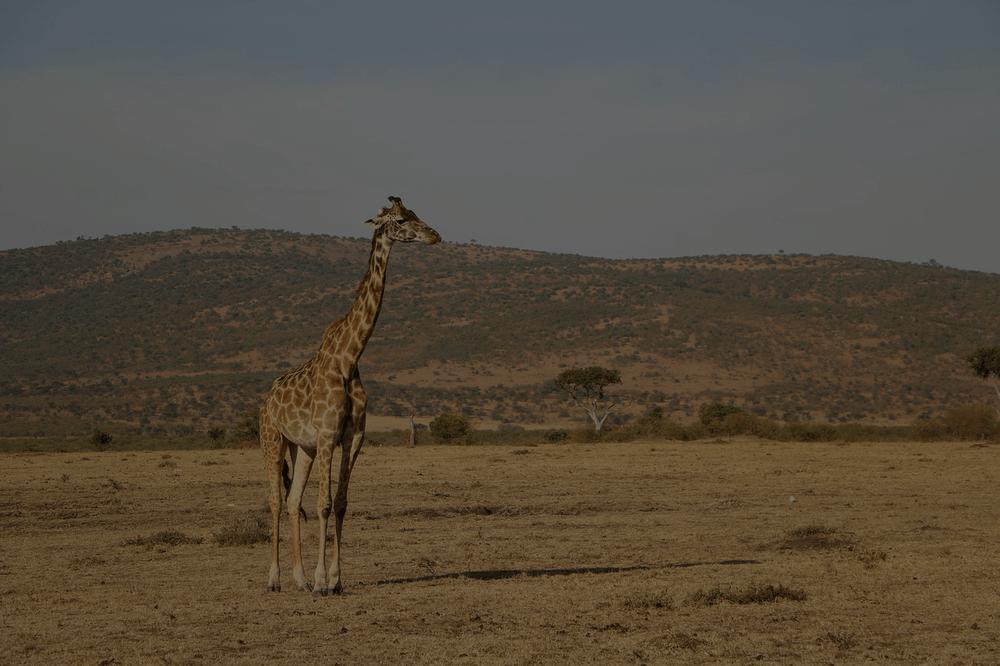 schlafen sprüche Giraffen schlafen nur eine halbe Stunde pro Tag   IstDasLustig.de schlafen sprüche